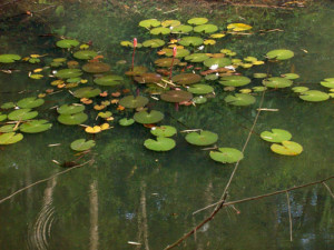 Water lillies grow in the valley where it was just dust in 1983